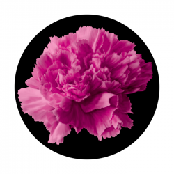 Apollo 2 Color Glass Gobo 0103 Pink Carnation