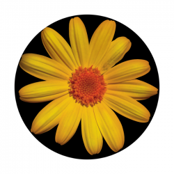 Apollo ColourScenic Glass Gobo 0143 Daisy