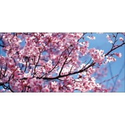 Apollo DesignScape - Cherry Blossoms