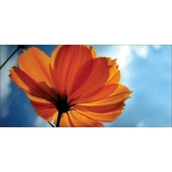 Apollo DesignScape - Orange Daisy
