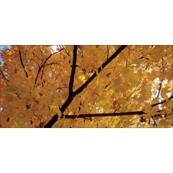 Apollo DesignScape - Yellow Fall Tree